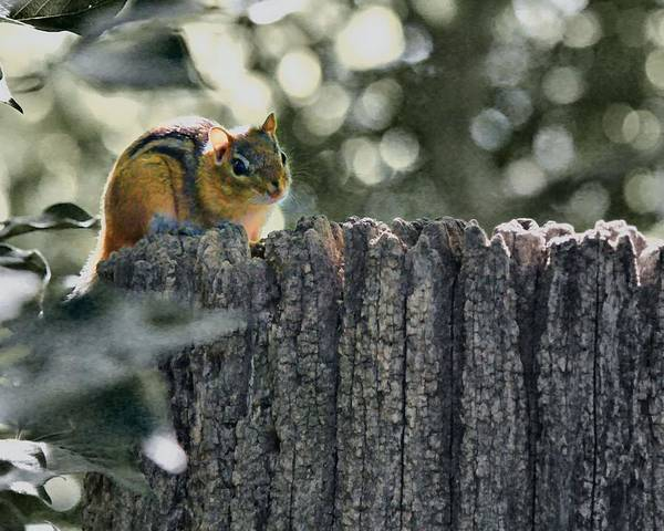 Photograph - Chipmunk  by John Feiser