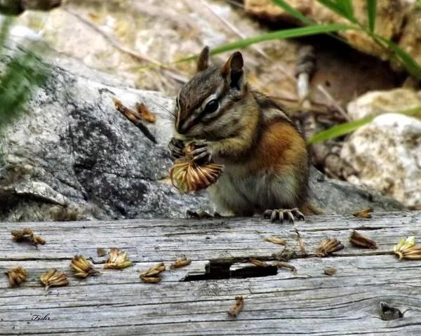 Photograph - Chipmunk Lunch by Fiskr Larsen