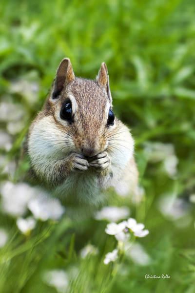 Photograph - Chipmunk Subtle Strategist  by Christina Rollo