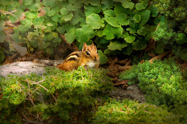Photograph - Chipmunk - What A Cutie  by Mike Savad