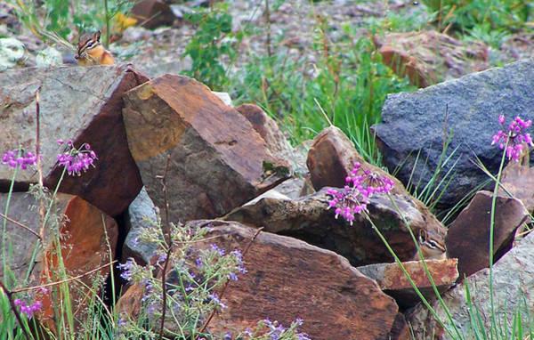 Photograph - Chipmunks In Rocks  by Jennifer Robin