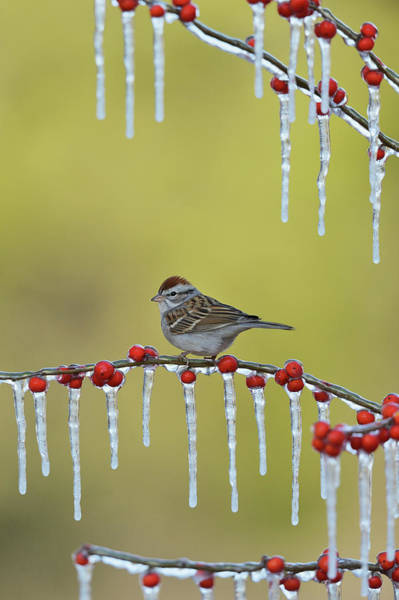 Wall Art - Photograph - Chipping Sparrow Perched On Icy Possum by Rolf Nussbaumer