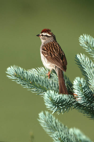 Backyard Bird Photograph - Chipping Sparrow (spizella Passerina by Richard and Susan Day