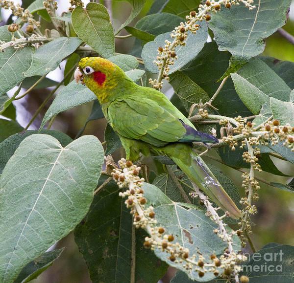 Aviary Photograph - Chiriqui Conure 2 by Heiko Koehrer-Wagner