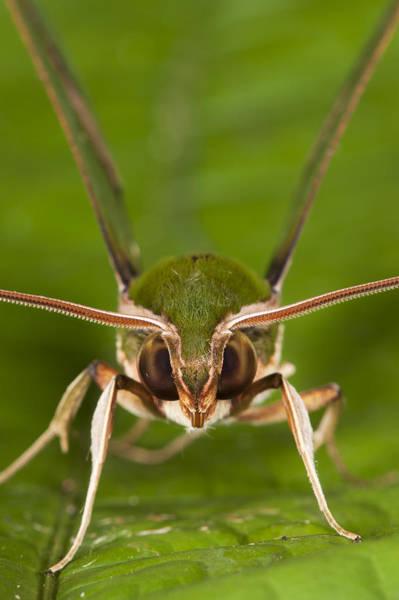Photograph - Chiron Sphinx Moth Yasuni Np Ecuador by Pete  Oxford