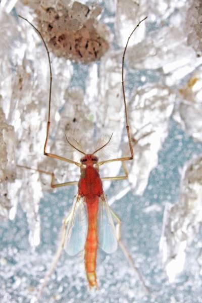 Midge Photograph - Chironomidae Midge by Aurelien Celette, Mona Lisa Production/science Photo Library