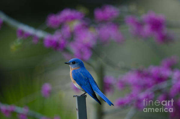 Southern Ontario Photograph - Chirping Blue Bird by Dale Powell