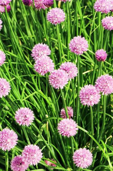 Chive Photograph - Chive (allium Schoenoprasum) Flowers by Adrian Thomas
