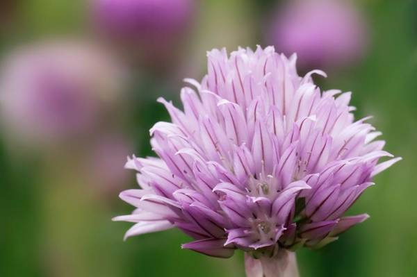 Chive Photograph - Chive Flowerhead by Maria Mosolova/science Photo Library