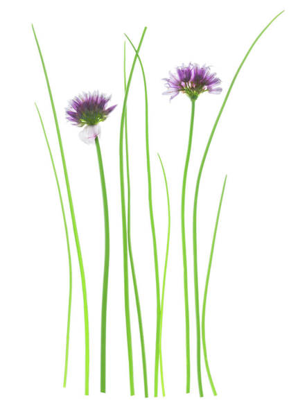 Herbs Photograph - Chives (allium Schoenoprasum) by Gustoimages/science Photo Library