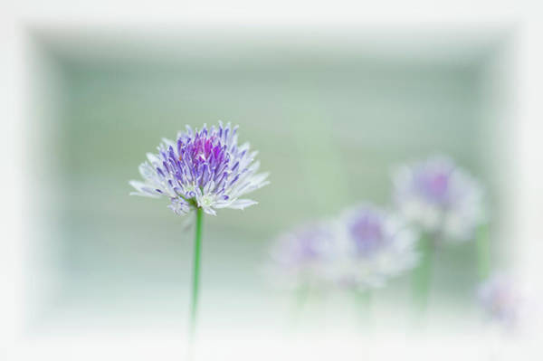 Chive Photograph - Chives Blowing In The Wind by Rona Schwarz