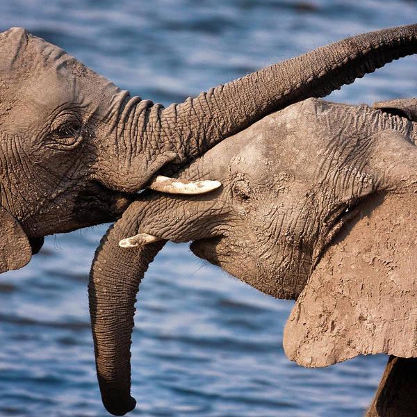 African Elephant Photograph - Chobe National Park, Botswana by Janet Muir
