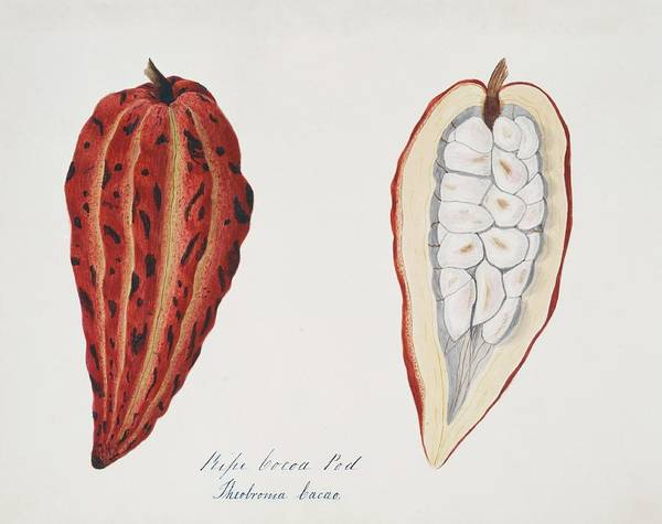 Wall Art - Photograph - Chocolate Cocoa Pod by Natural History Museum, London/science Photo Library