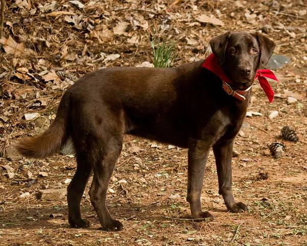 Photograph - Chocolate Lab by Robert L Jackson