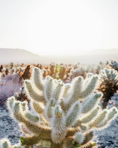 Wall Art - Photograph - Cholla Along The Cholla Cactus Garden by Ron Koeberer