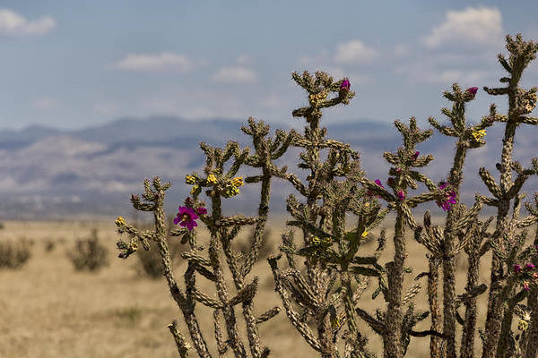 Land Of Enchantment Photograph - Cholla Cactus And Jemez Mountains 1 - Santa Fe New Mexico by Brian Harig