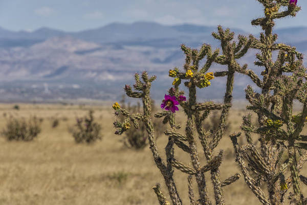 Land Of Enchantment Photograph - Cholla Cactus And Jemez Mountains 2 - Santa Fe New Mexico by Brian Harig