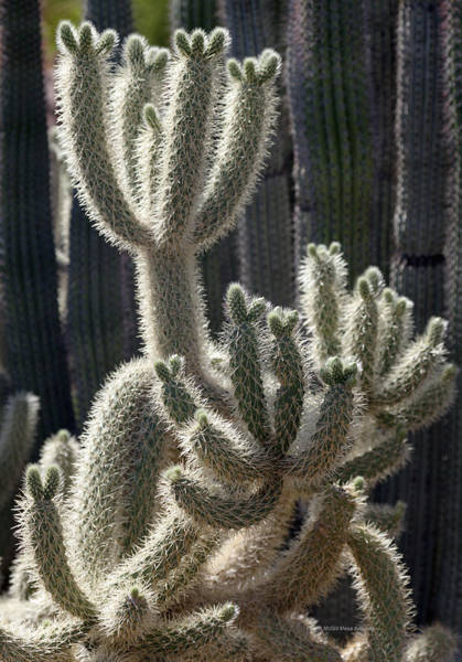 Opuntia Bigelovii Photograph - Cholla Cactus Arizona by Patrick McGill