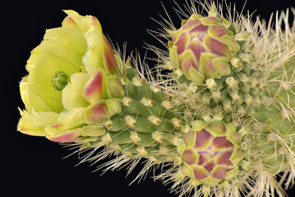 Cylindropuntia Bigelovii Wall Art - Photograph - Cholla Cactus Blossom And Buds by Dean Hueber