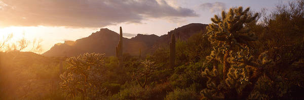 Maricopa Photograph - Cholla Cactus In A Field, Phoenix by Panoramic Images