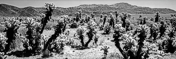 Wall Art - Photograph - Cholla Cactus In Joshua Tree National by Panoramic Images