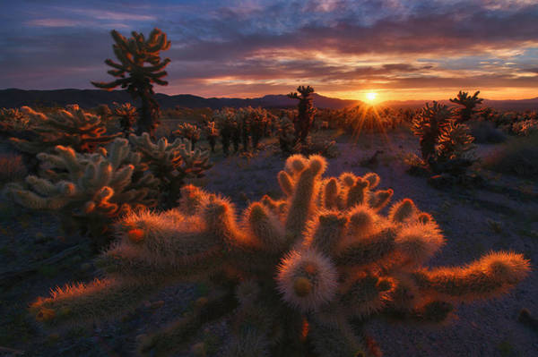 National Wall Art - Photograph - Cholla Garden by Inigo Cia