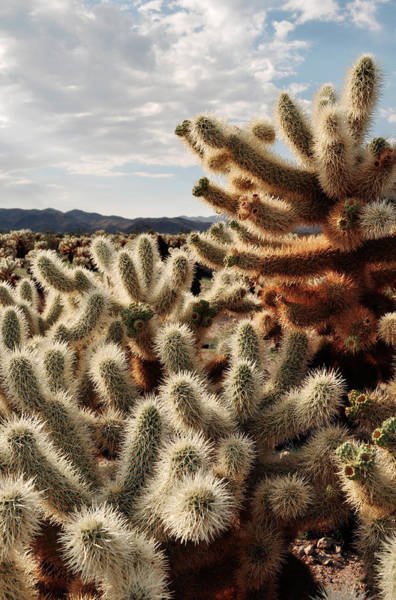 Cylindropuntia Bigelovii Photograph - Cholla Teddy Bear Cactus Garden Magic Hour by Kyle Hanson