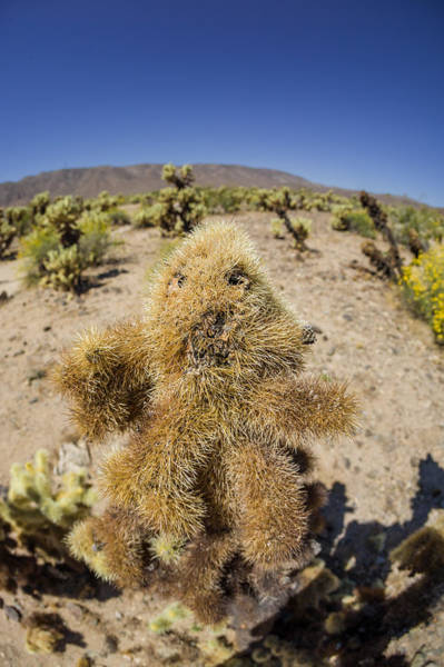 Photograph - Cholla Teddy Bear by Scott Campbell