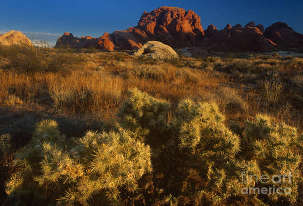 Photograph - Cholla Valley Of Fire State Park Nevada by Dave Welling