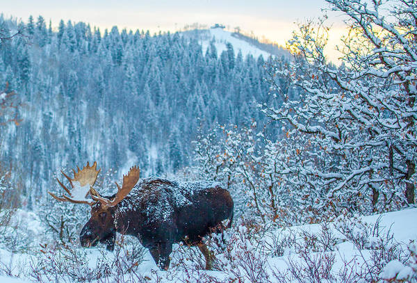 Photograph - Christie Moose by Kevin  Dietrich