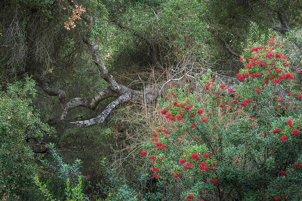 Coast Live Oak Photograph - Christmas Berry by Alexander Kunz