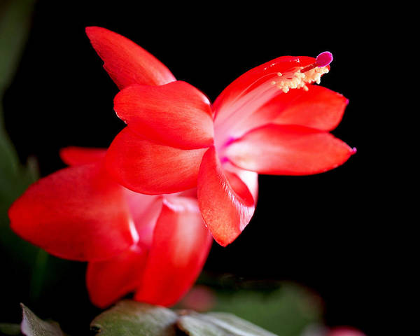 Photograph - Christmas Cactus Flower by Rona Black