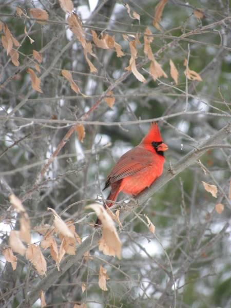 Photograph - Christmas Cardinal by Peggy  McDonald