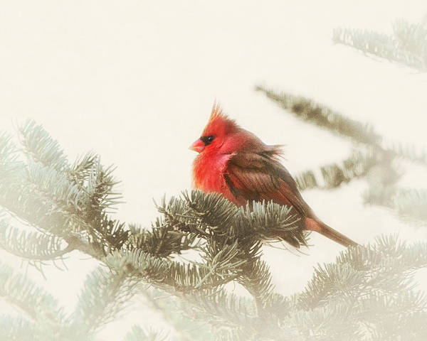 Northern Maine Wall Art - Photograph - Christmas Cardinal by Susan Capuano