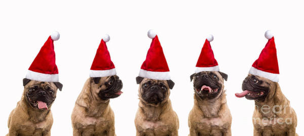 Pug Photograph - Christmas Caroling Dogs by Edward Fielding