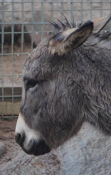 Photograph - Christmas Donkey by Phyllis Spoor