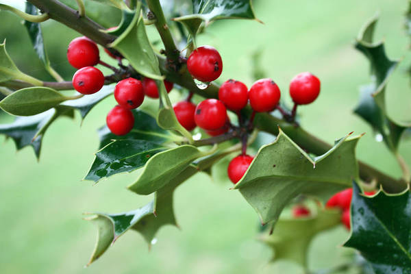 Photograph - Christmas Holly by Gerry Bates