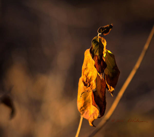 Photograph - Christmas Leaf by Edward Peterson