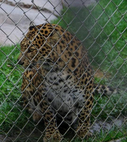 Photograph - Christmas Leopard I by Phyllis Spoor