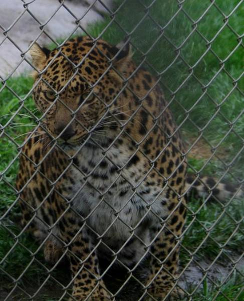 Photograph - Christmas Leopard II by Phyllis Spoor