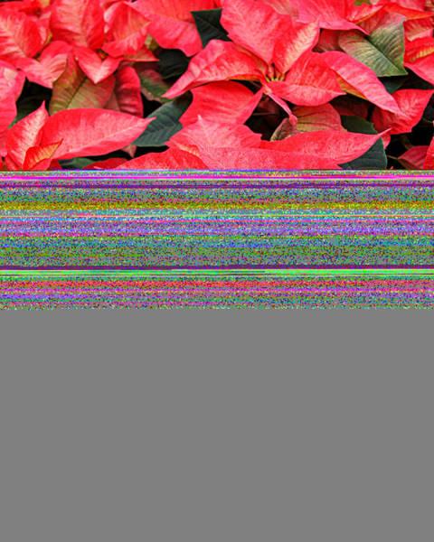 Christmas Poinsettia's Art Print by Carol Toepke