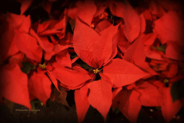 Photograph - Christmas Poinsettias by Paulette B Wright