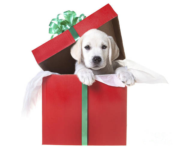 Wall Art - Photograph - Christmas Puppy by Diane Diederich