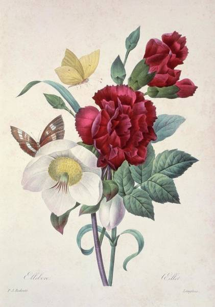 Hand Painted Photograph - Christmas Rose Helleborus Niger by Natural History Museum, London/science Photo Library