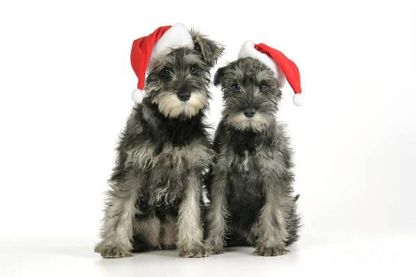 Schnauzer Photograph - Christmas Schnauzers by John Daniels