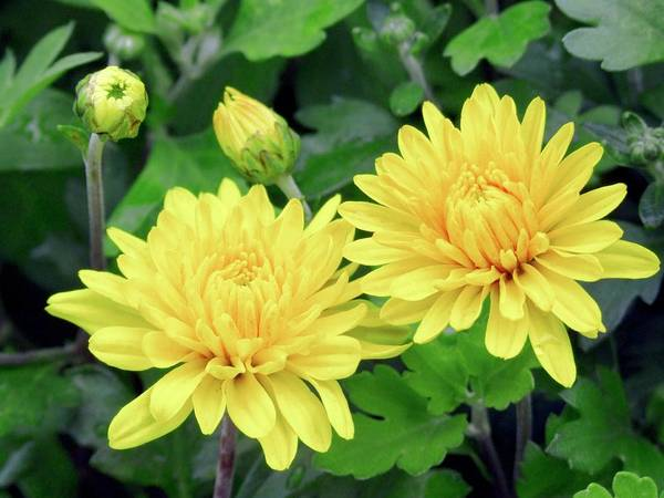 Asteraceae Photograph - Chrysanthemum Action Yellow (hardy) by Ian Gowland/science Photo Library