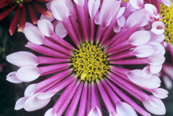 Glasshouse Photograph - Chrysanthemum 'biarritz' by Anthony Cooper/science Photo Library