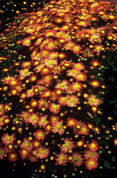Boulevard Photograph - Chrysanthemum 'boulevard Bronze' by Anthony Cooper/science Photo Library