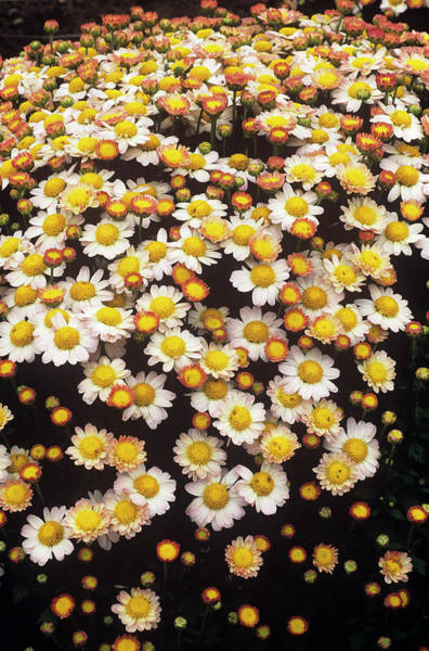 Boulevard Photograph - Chrysanthemum 'boulevard Pink/white' by Anthony Cooper/science Photo Library
