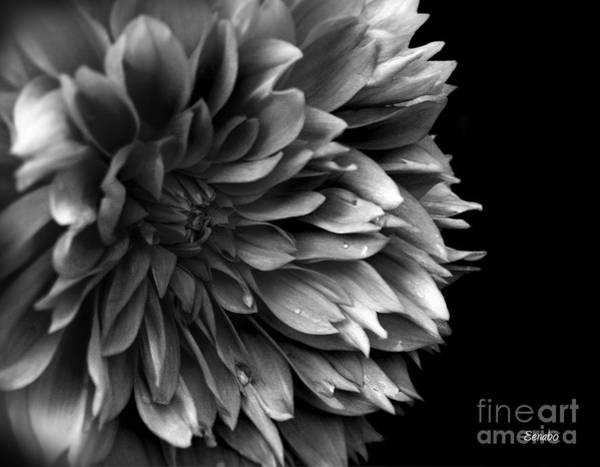 Chrysanthemum In Black And White Art Print